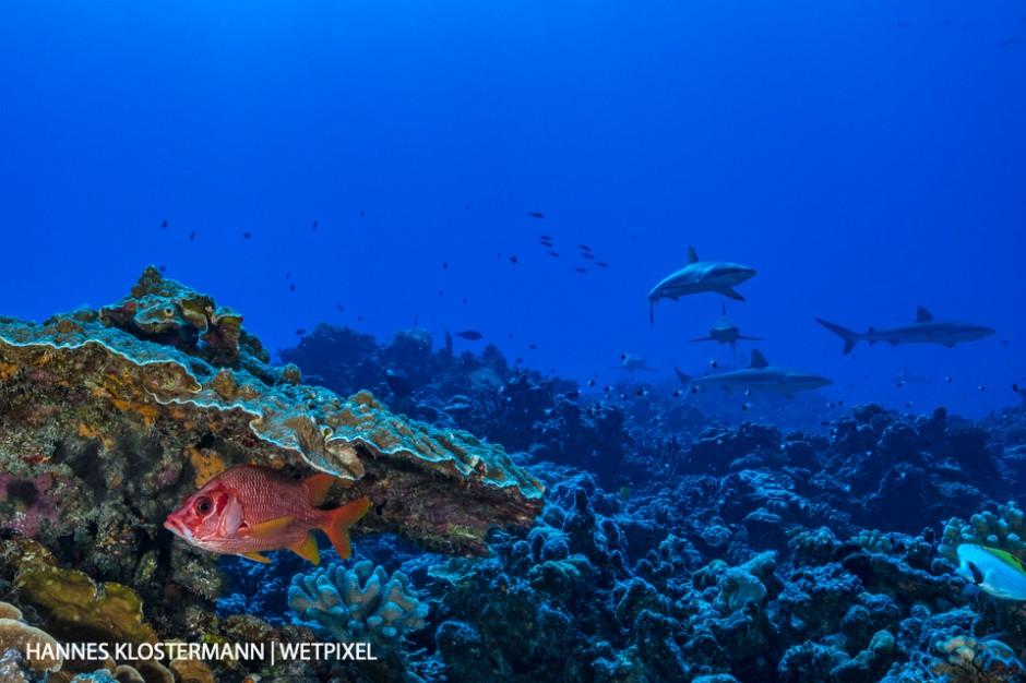 A sabre squirrelfish (*Sargocentron spiniferum*) hides under coral from a pack of grey reef sharks (*Carcharhinus amblyrhynchos*).