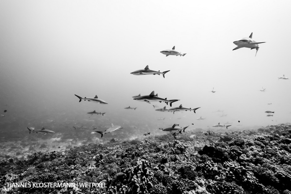 Part of the famous 'Wall of Sharks' in Fakarava. During the day, hundreds of sharks gather in several large groups, slowly cruising in the current to conserve energy for their nocturnal hunts.