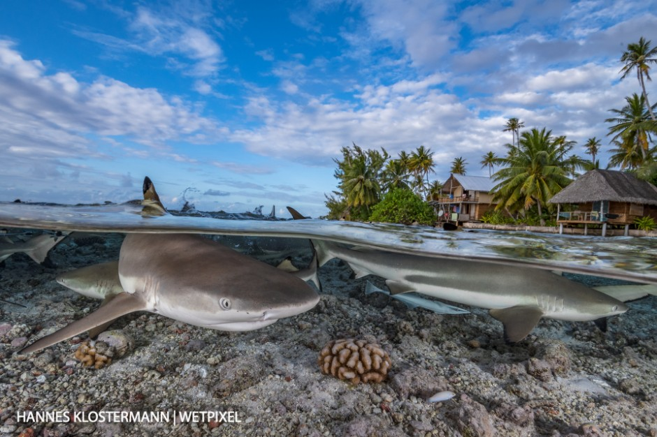 Blacktip reef sharks (*Carcharhinus melanopterus*) in about half a metre of water. French Polynesia offers some amazing opportunities for over/unders!