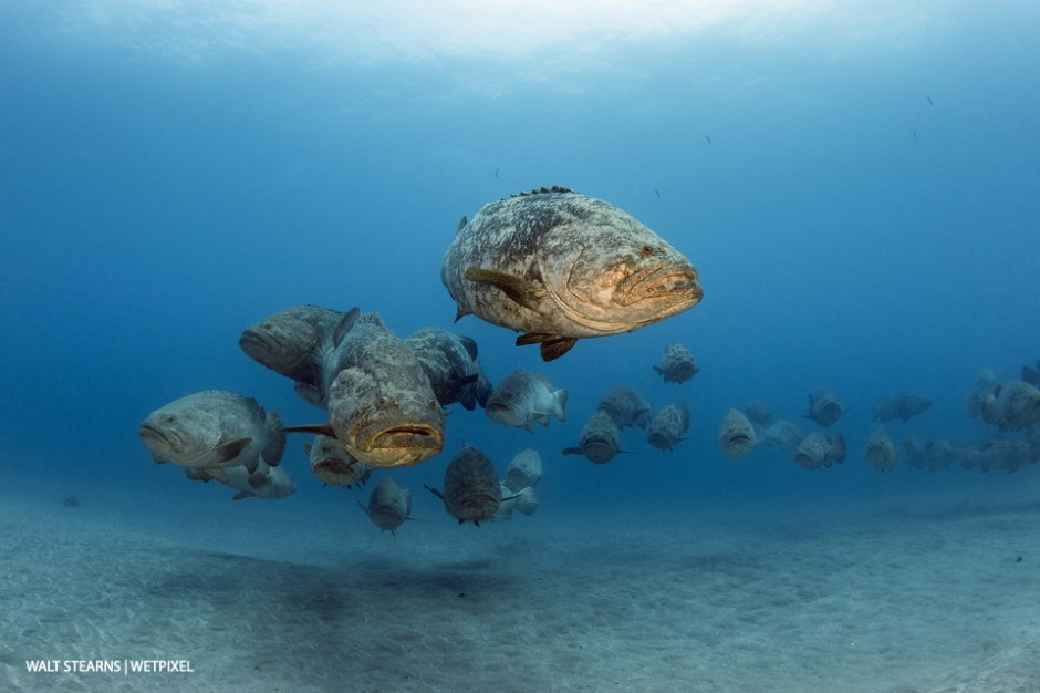 Goliath groupers (*Epinephelus itajara*) can weight more than 500 pounds each. During the months of August and September, these impressive giants of the tropical reefs will form up in large scale spawning aggregations.