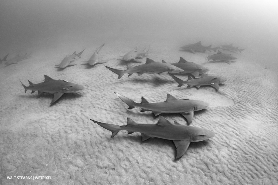 No, this is not Tiger Beach. In northern portions of Palm Beach in the Jupiter and Juno Beach area, the winter season brings a bigger influx of sharks, like this aggregation of adult lemon sharks (*Negaprion brevirostris*).