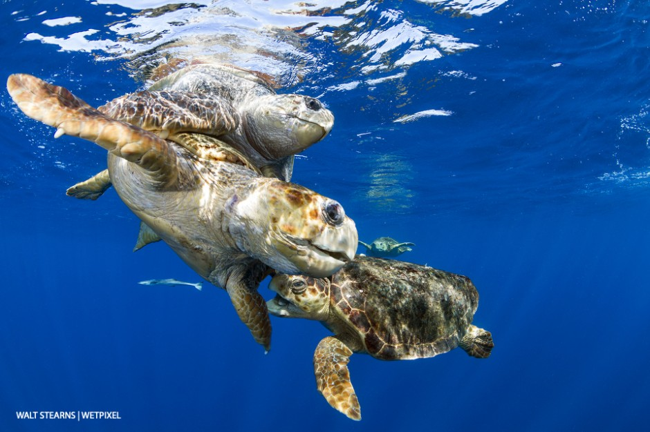 During the months of Spring on into early Summer, the waters of Palm Beach heat up with the mating of sea turtles. With loggerhead turtles (*Caretta caretta*) romantic affairs can turn quite contentious.