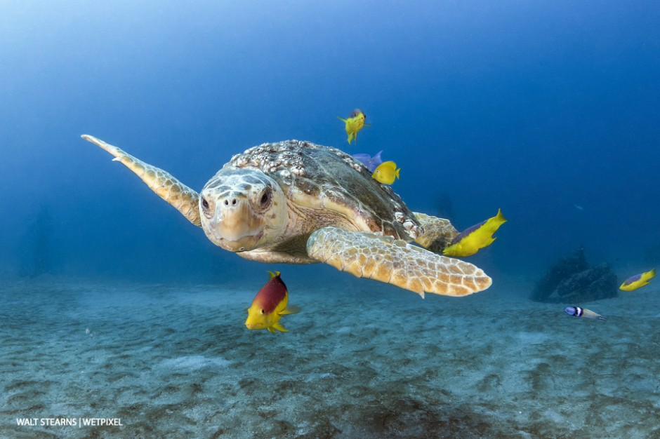 Loggerhead turtles  (*Caretta caretta*)  are common trademark to diving in Palm Beach waters. To not see at least one during a dive is considered a bad day, which is very few and far between.