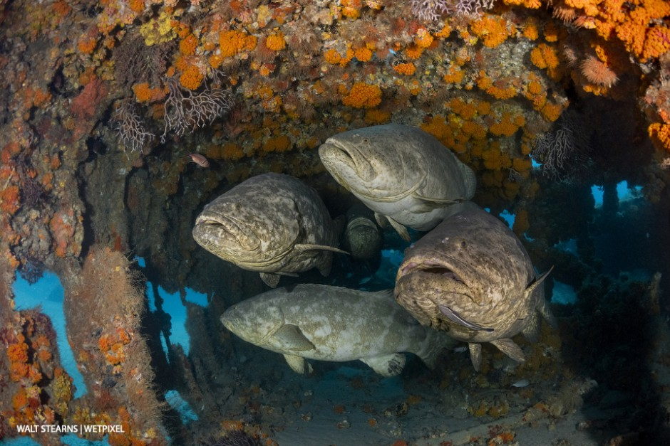 Group of goliath groupers (*Epinephelus itajara*) huddled together inside the West Palm's Mizpah wreck. The primary rule to wreck diving in Palm Beach is not the wreck but what often gathers around it that makes the dive.