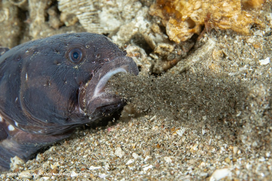 Marty Snyderman: A convict blenny (*Pholidichthys leucotaenia*) eject a mouthful of debris from its burrow.