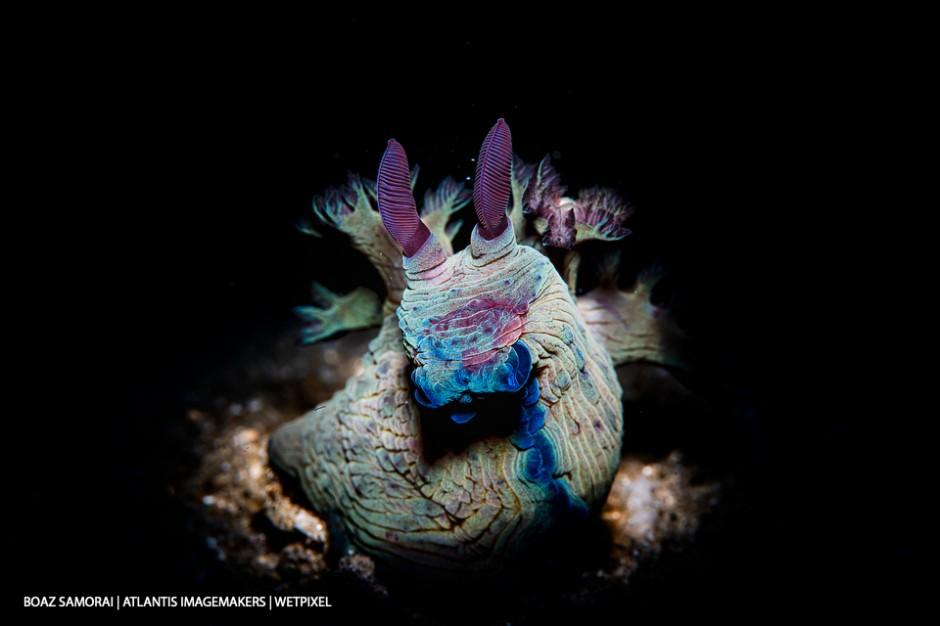 Boaz Samorai: A blue-horned polycerid (*Tyrannodoris nikolasi*) in the spotlight.