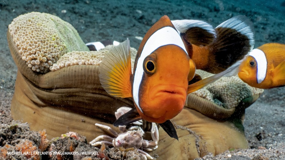 Michele Hall: A saddleback anemonefish (*Amphiprion polymnus*) right on the WWL-1 lens port.