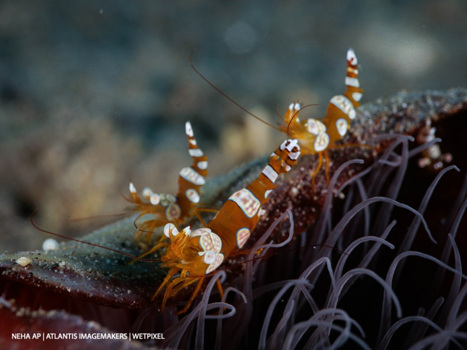 Neha Acharya-Patel: A group of sexy shrimps (*Thor amboinensis*) on an anemone.