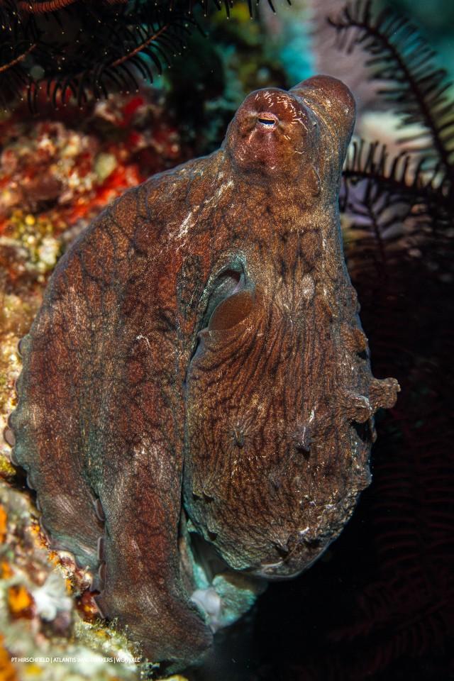 PT Hirschfield: A day octopus (*Octopus cyanea*)  strikes a pose.