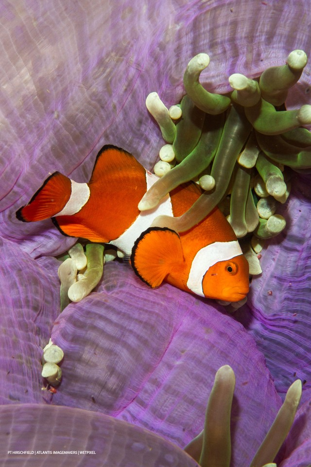 PT Hirschfield: A spinecheek anemonefish (*Premnas biaculeatus*) on a purple anemone.