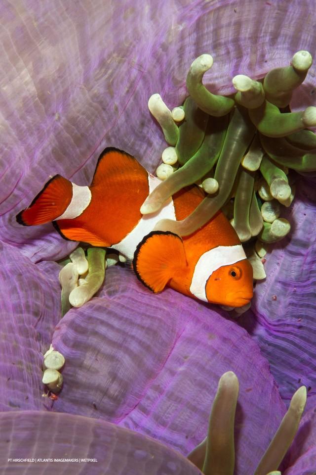 PT Hirschfield: A spinecheek anemonefish (*Premnas biaculeatus*) on a purple anemone.