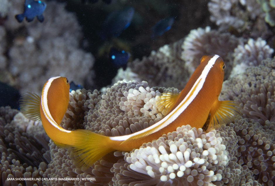 Sara Shoemaker Lind: Two yellow anemonefish (*Amphiprion sandaracinos*) form a perfect smile.