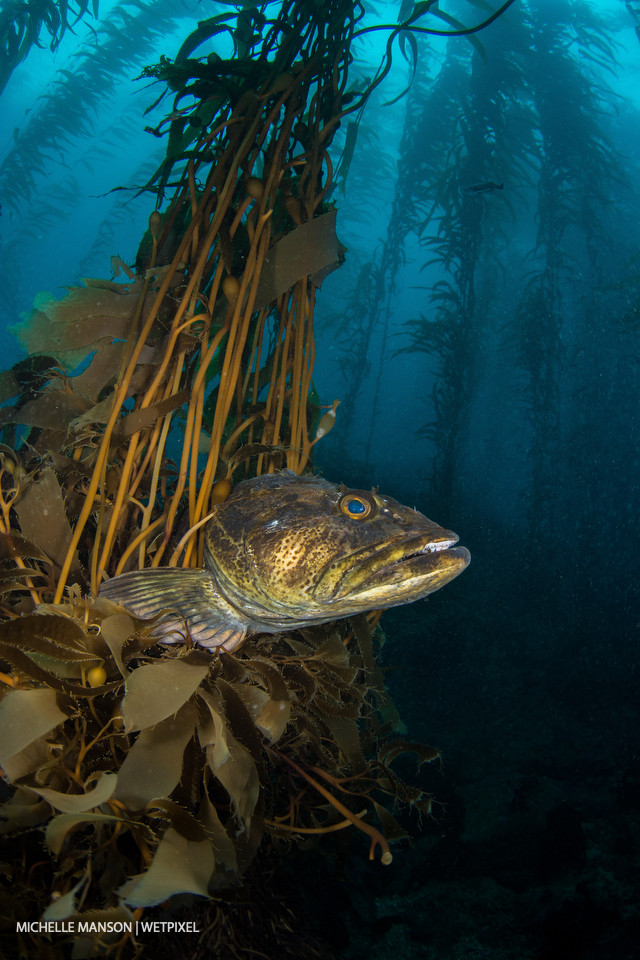 Lingcod poking its head out of a kelp skirt.