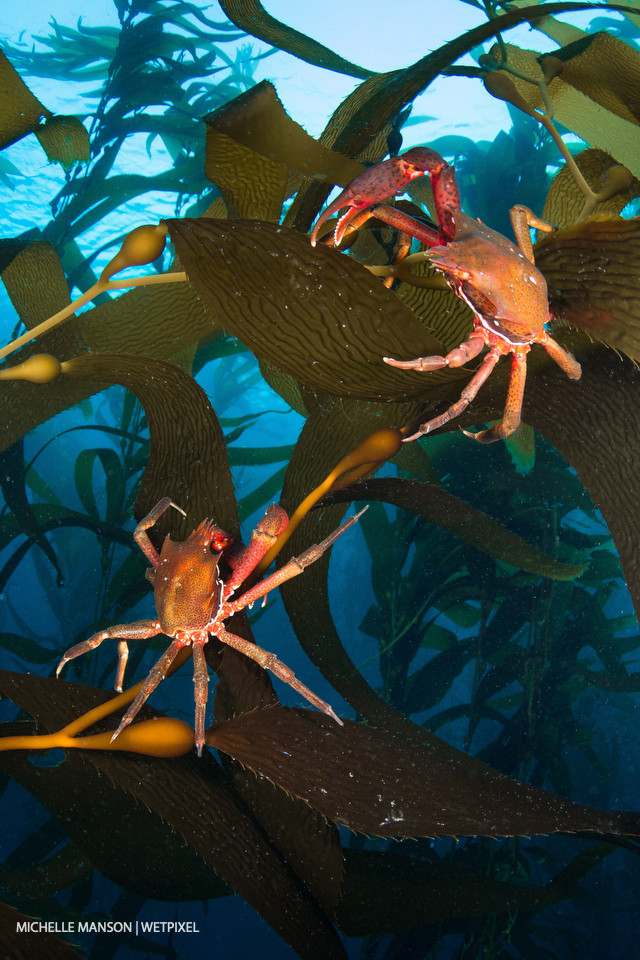 Two kelp crabs fighting in the kelp.