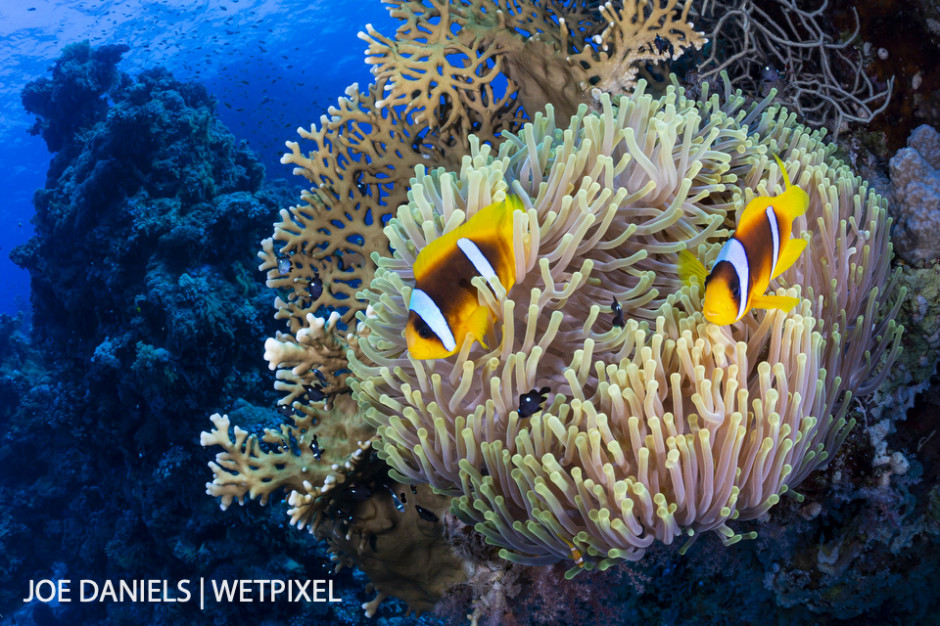 A pair of Red Sea clownfish (*Amphiprion bicinctus*) in their host anemone.
