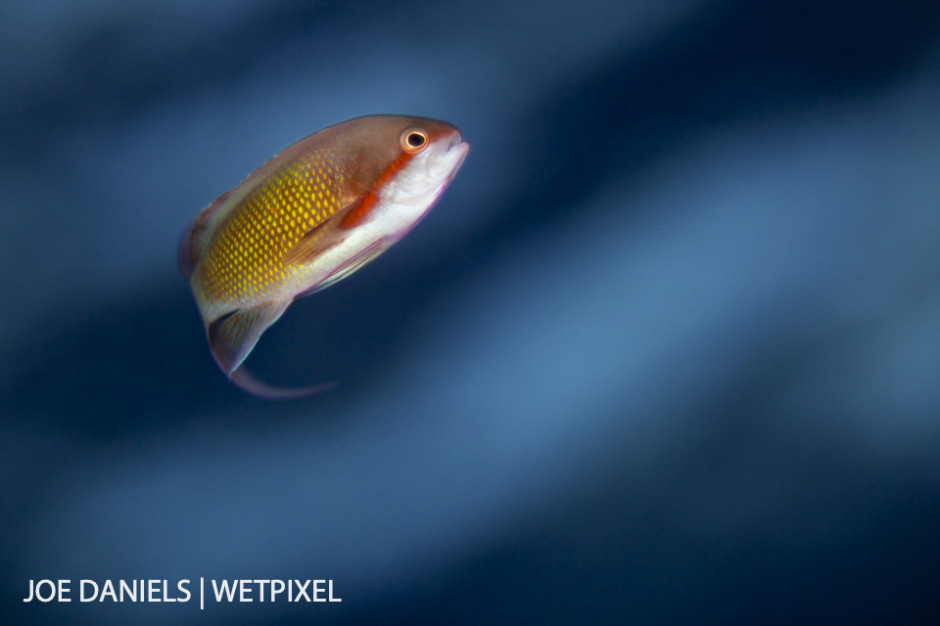 A male anthias (*Pseudanthias squamipinnis*) in the fading evening light.