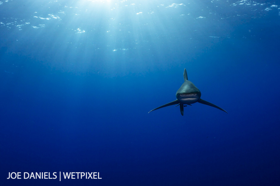 An oceanic whitetip  (*Carcharhinus longimanus*) coming in from the big blue to check me out.