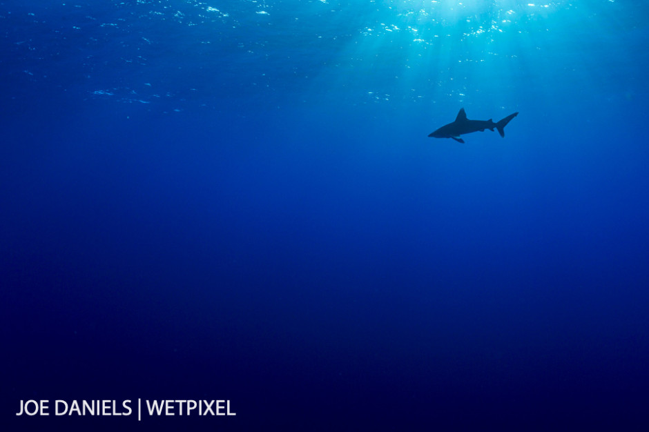 An oceanic whitetip (*Carcharhinus longimanus*) in the big blue. A master of its realm.