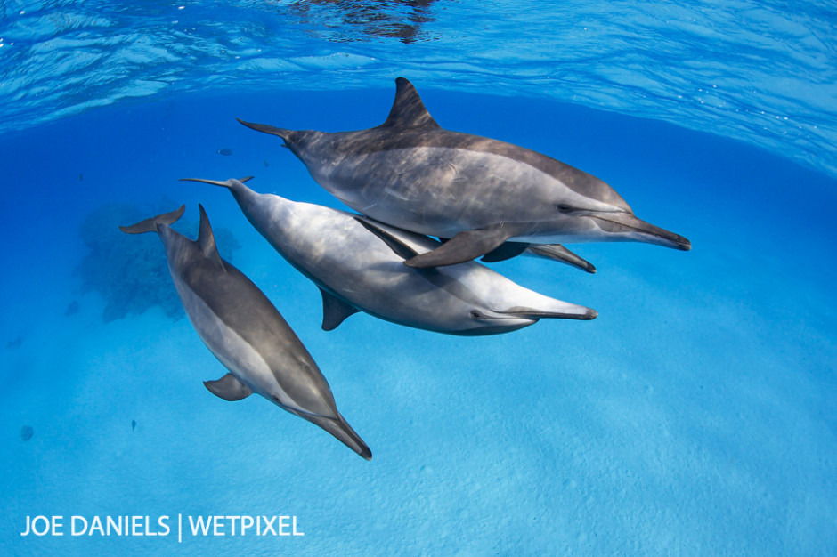 Spinner dolphins (*Stenella longirostris*) playing in the shallows of Fury Shoal.