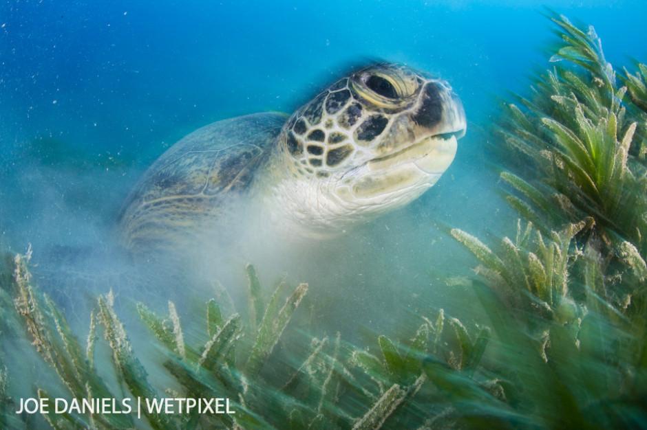 A large green turtle (*Chelonia mydas*) taking a break from feeding on the plentiful sea grass.