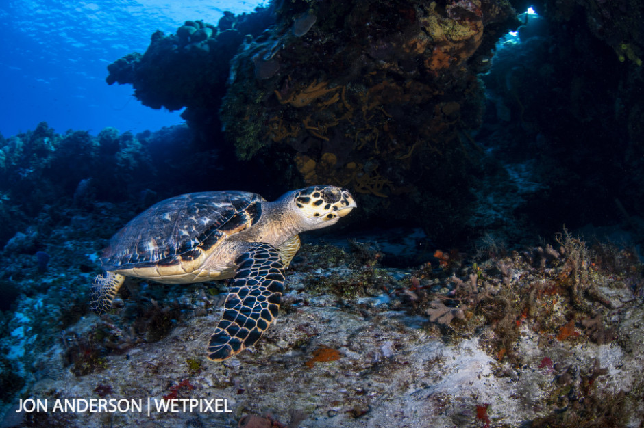 A hawksbill turtle (*Eretmochelys imbricata*) soars by near a large coral formation.