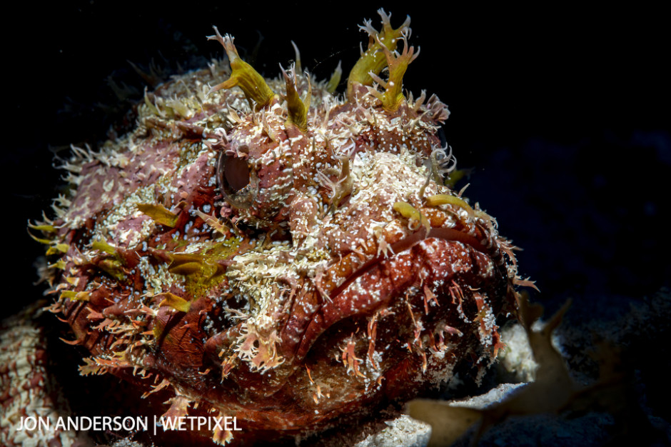 Spotted scorpionfish (*Scorpaena plumieri*).