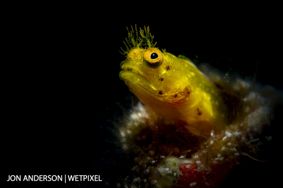Roughhead blenny (*Acanthemblemaria aspera*), female.