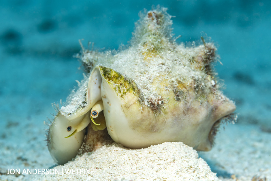 A milk conch (*Strombus costatus*).