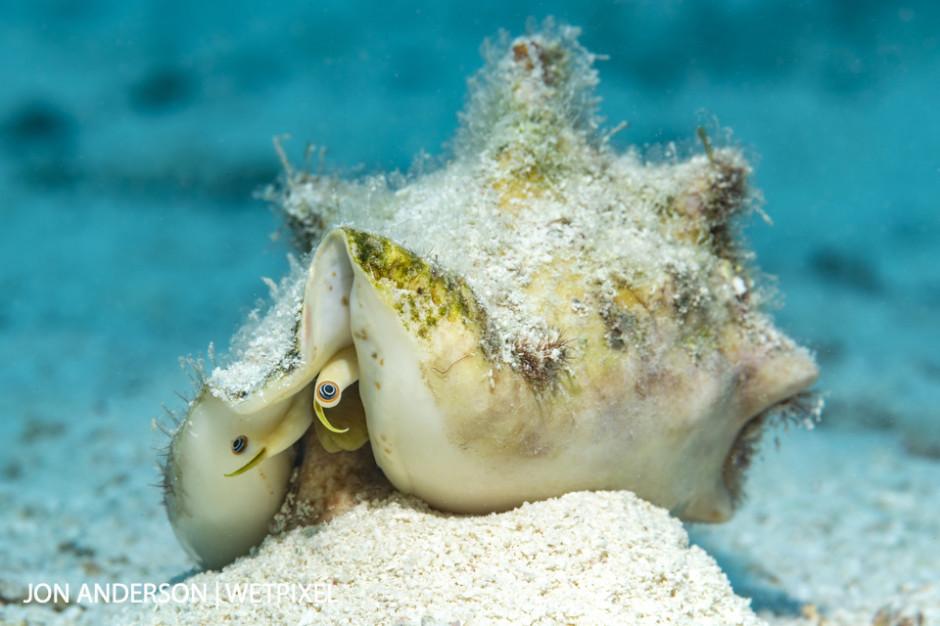 A milk conch (*Strombus costatus*).