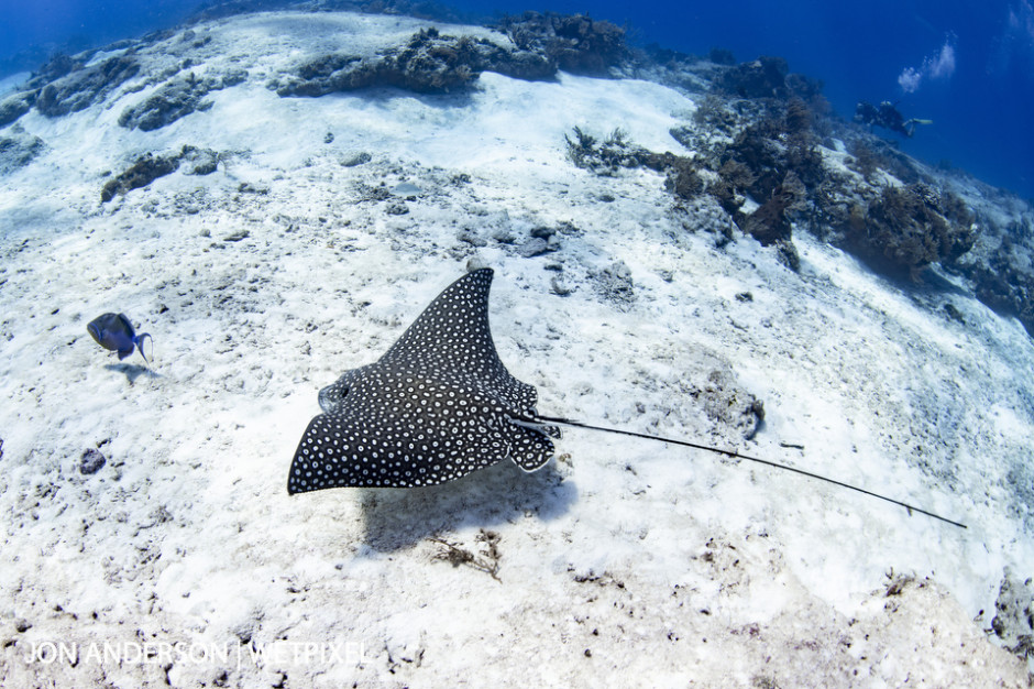 A beautiful spotted eagle ray (*Aetobatus narinari*) soars over the sand in search of a meal while a pair of divers observe from the top of the reef.