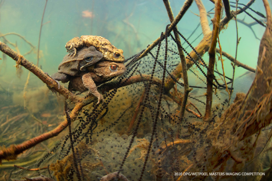 "Wide Angle Unrestricted category Third place: **""Mating toads and a frog"" by Gino Symus**."