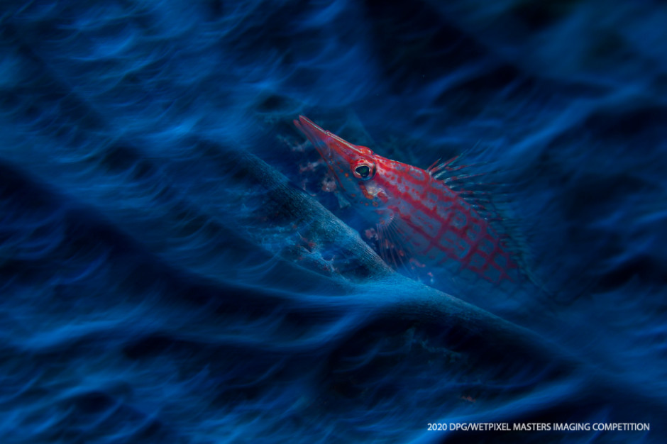"Macro Traditional category Honorable Mention: **""Haunting Hawkfish"" by Joe Daniels**."