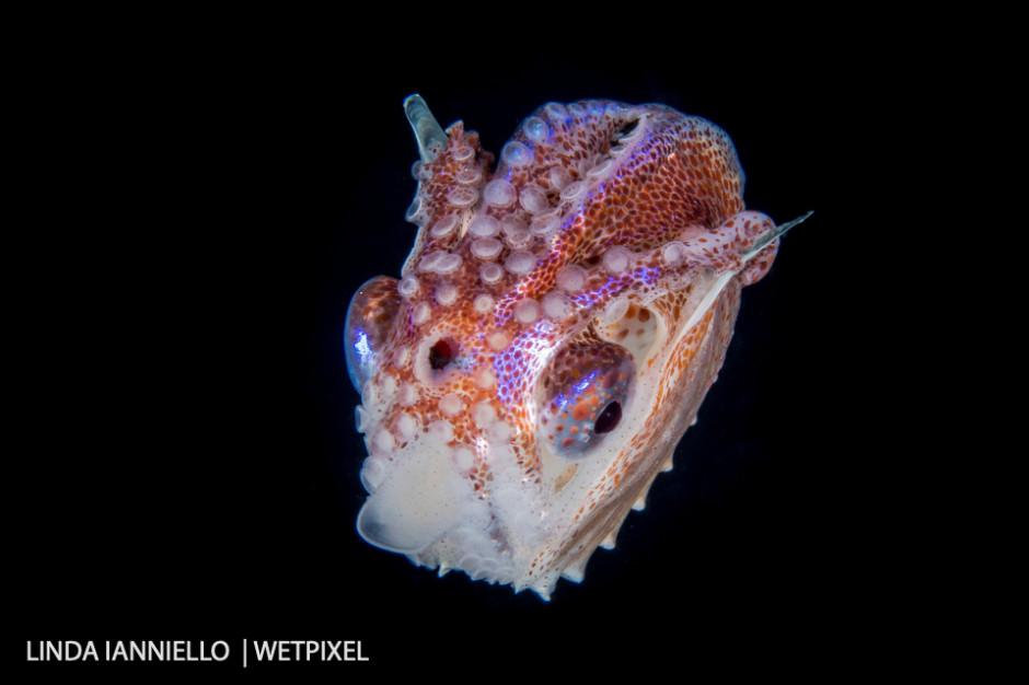 We have them too! A female Paper Nautilus, Argonaut pelagic octopus.