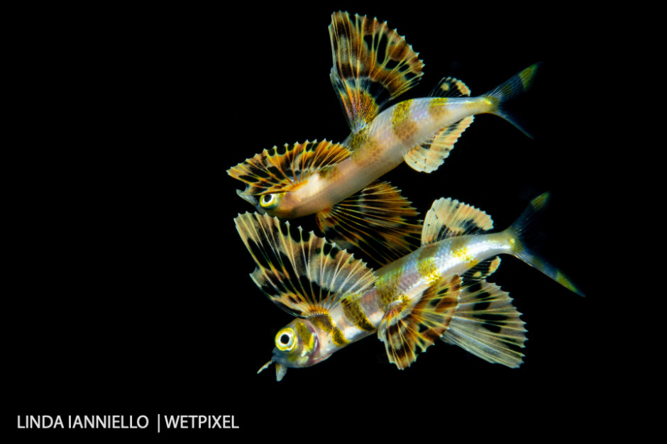 A flying fish, *Exoceotidae* family, shot on a very calm night at the surface producing a detailed reflection.