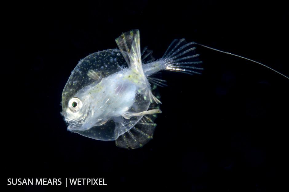 Pancake batfish larva, (*Haieutichthys aculeatus*).