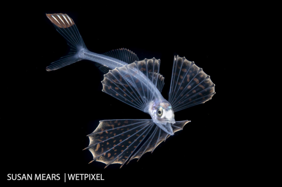 Snaketooth swallower (*Chiasmodontidae - Kali sp*.) A deep sea fish with the ability to swallow prey much larger than itself.