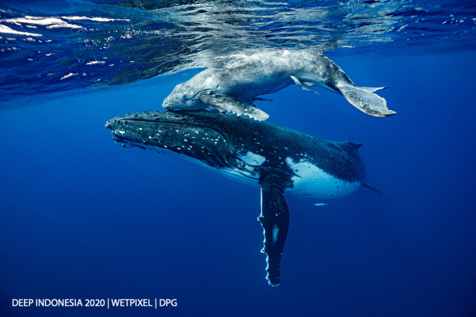 Animal Behavior category third place: **Heming Song**   *Humpback whale mom and calf*