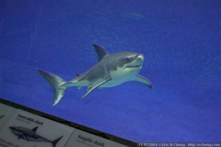 Monterey Bay Aquarium's White Shark :: Wetpixel.com
