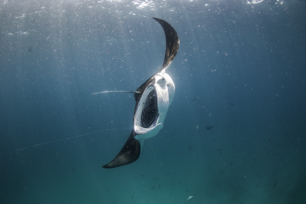 Manta ray tourism on Wetpixel