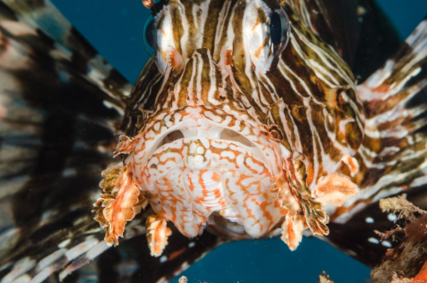 Lionfish ©Adam Hanlon