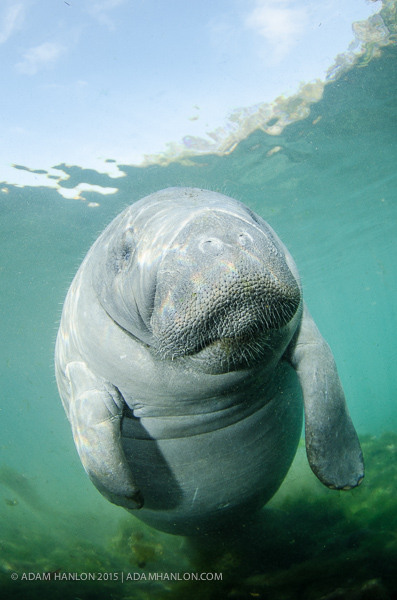 Manatees on Wetpixel