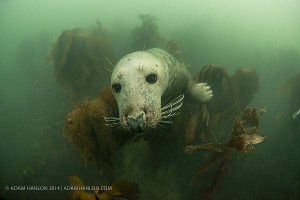 Серые тюлени (Halichoerus grypus)