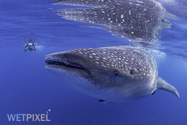 Whale Sharks on Wetpixel