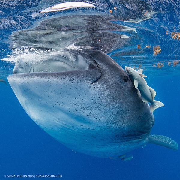 Китовые акулы Исла-Мухерес