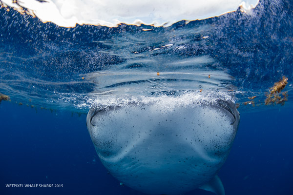 Wetpixel whale sharks 2015
