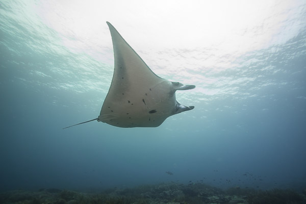 Indonesian manta ray sanctuary on Wetpixel
