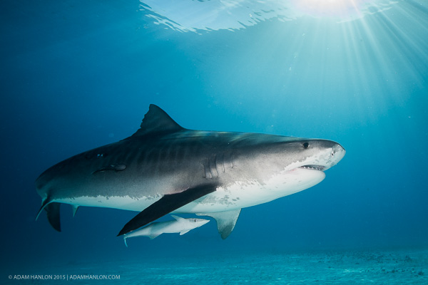tiger sharks essay In a three-month period in 2014, drum lines in western australia caught 172  sharks, of which 163 were tiger sharks and none were great whites.