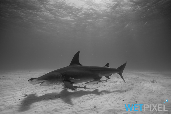 hammerhead sharks on Wetpixel