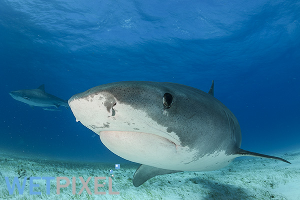 Tiger sharks on Wetpixel