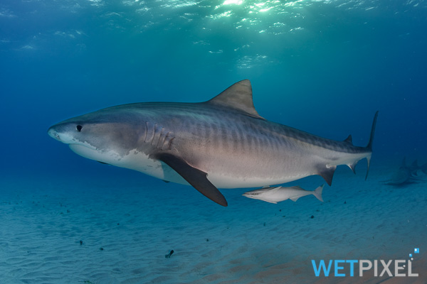 Tiger shark on Wetpixel